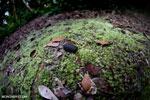 Black pill millipede [kalteng_1094]
