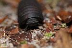 Black pill millipede [kalteng_1104]