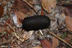 Black pill millipede [kalteng_1111]