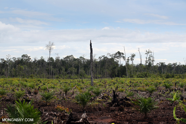 Deforestation for palm oil in Indonesian Borneo.