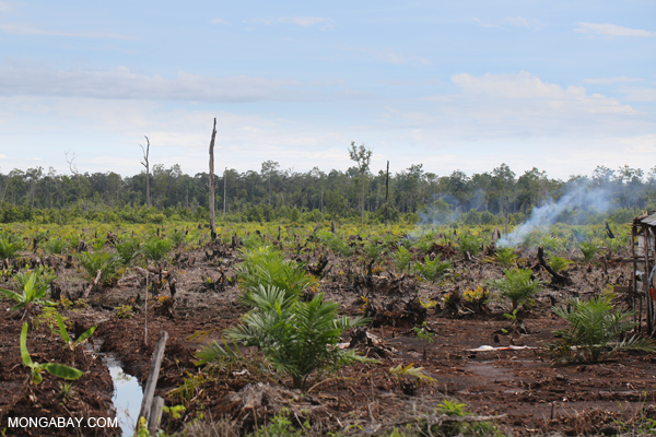 New palm oil plantation established on top of destroyed peat forest in Indonesia. Photo by: Rhett A. Butler.