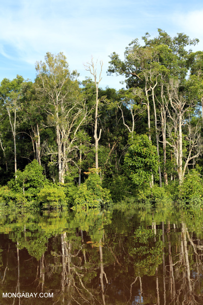 Tropical peat forests, such as this one in Central Kalimantan, provide habitat for many species. Photo by Rhett A. Butler.