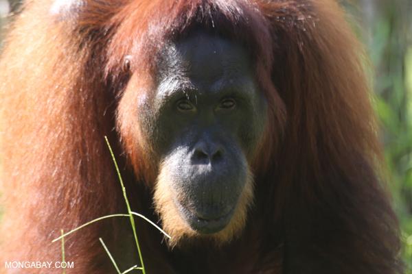 Bornean orangutan. Photo by Rhett A. Butler / mongabay.com