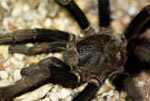 A tarantula on a road near Pedernales, Dominican Republic.