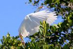 A cattle egret in mangrove trees in Estero Hondo Marine Sanctuary in the Dominican Republic.