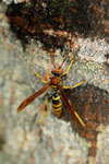 A wasp in the Ebano Verde Scientific Reserve in the Dominican Republic.