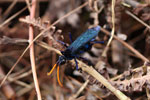 A bright blue beetle in the Ebano Verde Scientific Reserve in the Dominican Republic.