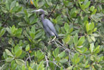 A Little Blue Heron (Egretta caerulea) Los Haitises National Park in the Dominican Republic.