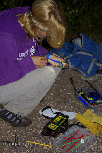 Ros Kennerley works quickly to prepare the radio collar for attaching to the solenodon. Photo by: Tiffany Roufs.