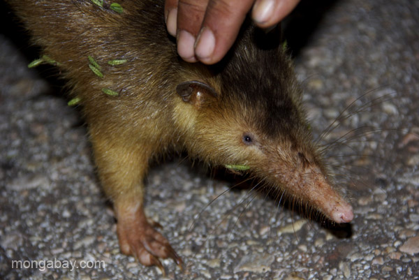 The female Hispaniolan solenodon caught by Nicolas Corona in the Dominican Republic. She's awaiting being fitted with a radio collar. Photo by: Tiffany Roufs.