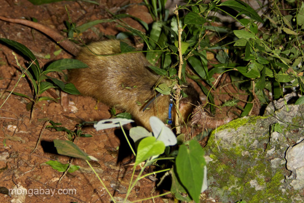 Nocturnal and well-camouflaged the solenodon is almost impossible to see, let alone catch. Photo by: Tiffany Roufs.