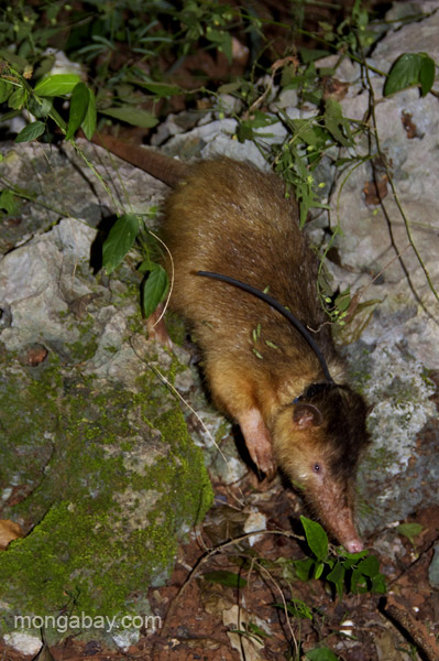 Solenodon fitted with a radio collar and freed. Photo by: Tiffany Roufs.