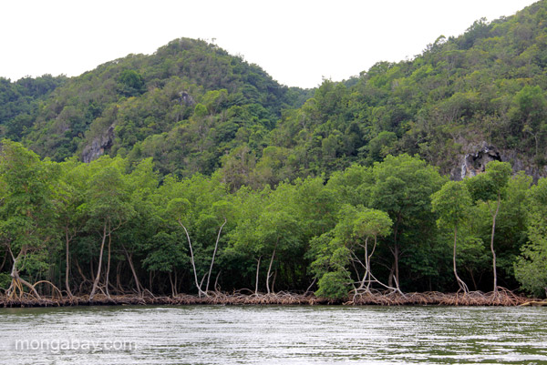 Mangroves in the forefront with karst hills in background in the Dominican Republic's Los Haitises National Park. Photo by: Jeremy Hance.