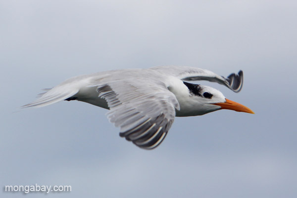 A royal Tern (Thalasseus maximus) in Los Haitises National Park in the Dominican Republic. Photo by Jeremy Hance.