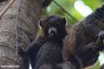 Male mongoose lemur (Eulemur mongoz) [madagascar_ankarafantsika_0028]