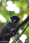 Female mongoose lemur (Eulemur mongoz) [madagascar_ankarafantsika_0043]