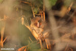 Golden Brown Mouse Lemur (Microcebus ravelobensis) [madagascar_ankarafantsika_0054]