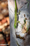 Madagascar giant day gecko (Phelsuma madagascariensis grandis) [madagascar_ankarafantsika_0155]