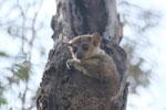 Milne-Edwards' Sportive Lemur [madagascar_ankarafantsika_0175]