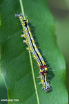 Blue, yellow, black, and red caterpillar [madagascar_ankarafantsika_0290]