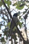 Male Malagasy Paradise Flycatcher (Terpsiphone mutata)