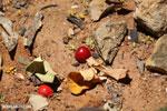 Kapok berries