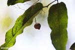 Kapok seed pod