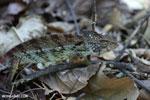 Malagasy giant chameleon (Furcifer oustaleti) [madagascar_ankarafantsika_0426]