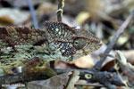 Oustalet's chameleon (Furcifer oustaleti) [madagascar_ankarafantsika_0427]