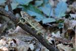 Oustalet's chameleon [madagascar_ankarafantsika_0434]