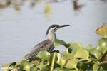 Striated Heron (Butorides striata) [madagascar_ankarafantsika_0636]