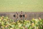White-faced Whistling Ducks [madagascar_ankarafantsika_0651]