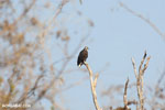 Madagascar fish eagle [madagascar_ankarafantsika_0690]