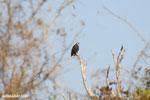 Madagascar fish eagle [madagascar_ankarafantsika_0691]