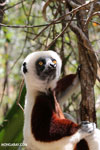 Coquerel's sifaka (Propithecus coquereli) [madagascar_ankarafantsika_0692]
