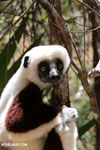 Coquerel's sifaka (Propithecus coquereli) [madagascar_ankarafantsika_0698]