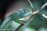 Female Oustalet's chameleon [madagascar_ankarana_0153]