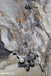Bats [madagascar_ankarana_0186]