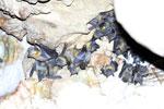 Bats [madagascar_ankarana_0187]