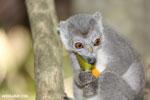 Female crowned lemur (Eulemur coronatus) [madagascar_ankarana_0233]