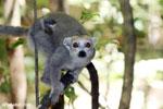 Female crowned lemur (Eulemur coronatus) [madagascar_ankarana_0238]