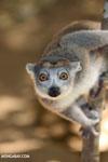 Female crowned lemur (Eulemur coronatus) [madagascar_ankarana_0252]