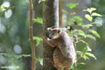 Juvenile crowned lemur (Eulemur coronatus) [madagascar_ankarana_0266]