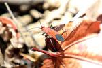Red bug [madagascar_ankarana_0273]