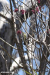 Sunbird [madagascar_ankarana_0372]