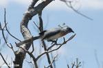 Crested coua [madagascar_ankarana_0394]