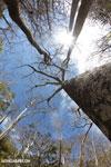 Diego Suarez Baobab (Adansonia suarezensis) [madagascar_ankarana_0452]