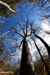 Diego Suarez Baobab (Adansonia suarezensis) [madagascar_ankarana_0456]