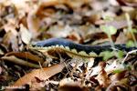 Giant Madagascan Hognose Snake (Leioheterodon madagascariensis) [madagascar_ankarana_0466]