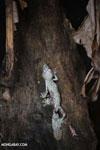 Uroplatus sikorae [madagascar_herps_0037]